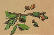 Mills Drawings - Acorns by Terri Mills