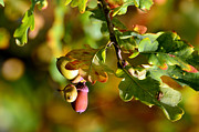 Acorns Photos - Acorns by Tommy Hammarsten