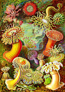 Underwater Life Posters - Actinia Sea Creatures Poster by Unknown