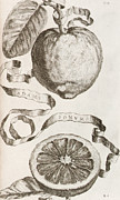 Fruits Drawings Prints - Adams Apple Print by Cornelis Bloemaert