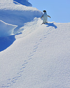 Foot Prints Posters - Adelie Penguin on Bergie Bit Poster by Tony Beck