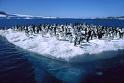Adelie Penguins On Icefloe Antarctica Print by Colin Monteath