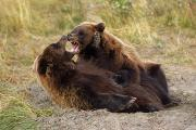 Adolescence Photos - Adolescent Brown Bears Wrestling by Doug Lindstrand