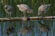 Baby Bird Prints - Adolescent Gull Chicks On Log Potter Print by Doug Lindstrand