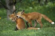 Adolescent Posters - Adolescent Red Fox Play Together Poster by Doug Lindstrand