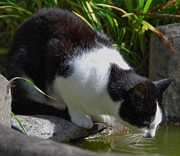 Canvas  Black And White Cat Photos - Adolph Drinking by Marcus Dagan