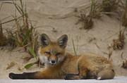 Amazing Jules - Adorable Baby Fox