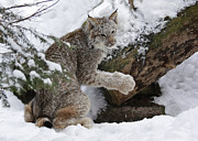 Shelley Myke Prints - Adorable Baby Lynx in a Snowy Forest Print by Inspired Nature Photography By Shelley Myke