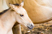 Horse Images Prints - Adorable Pony Print by Debra  Miller