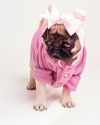 Puppies Digital Art Posters - Adorable Pug Puppy in Pink Bow and Sweater Poster by Edward Fielding