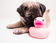 Pug Framed Prints - Adorable Pug Puppy with pink rubber ducky Framed Print by Edward Fielding