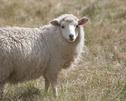 Loriannah Hespe - Adorable Sheep