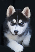 Siberian Huskies Posters - Adorable Siberian Husky Sled Dog Puppy Poster by Kathy Clark