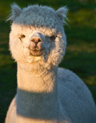 Cuddly Prints - Adorable white alpaca portrait Print by Eti Reid