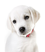 On White Posters - Adorable Yellow Lab Puppy Poster by Diane Diederich