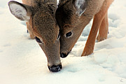 Deer In Snow Prints - Adoring Love Print by Karol  Livote