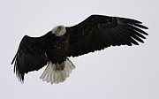 Green Bay Prints - Adult American Bald Eagle in Flight 1 Print by Thomas Young