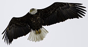 Green Bay Prints - Adult American Bald Eagle in Flight 2 Print by Thomas Young
