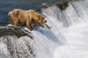 Brooks Photos - Adult Brown Bear Fishing For Salmon by Kenneth Whitten