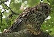 Adam Jewell - Adult Male Barred Owl