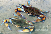 Callinectes Sapidus Prints - Adult Male Blue Crabs Print by Millard H. Sharp