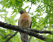 Red-shouldered Hawk Posters - Adult Red Shouldered Hawk Poster by Jai Johnson