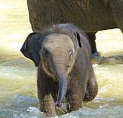 Margaret Saheed Posters - Adventurous Baby Asian Elephant  Poster by Margaret Saheed