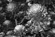 Kelley King Prints - Aeonium Black and White Print by Kelley King