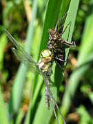 Blue Darner Dragonfly Posters - Aeshna cyanea Poster by Andreas Altenburger