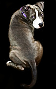 Pit Bull Mixed Media Metal Prints - Affection  Metal Print by Deanna Maxwell