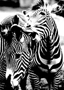 Zebras Photos - Affection by Jeremiah John McBride