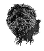 Dog Jewelry Prints - Affenpinscher Head Study Print by Virginia Cleary