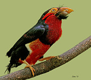 Bearded Barbet Posters - African Bearded Barbet 3 Poster by Larry Linton