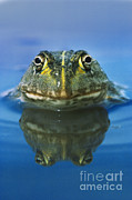 African Bullfrog Print by Frans Lanting MINT Images