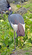 A Gurmankin - African Crowned Crane