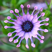 Purple And Green Photos - African Daisy - Square Format by Carol Groenen