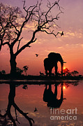 African Elephant At Dawn Print by Frans Lanting MINT Images