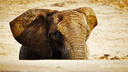Nick  Biemans - African Elephant behind a hill