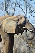 Kathleen Photos - African Elephant by Kathleen Struckle