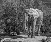 Tusk Prints - African Elephant monochrome Print by Steve Harrington