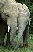 Nigel J Dennis - African Elephants