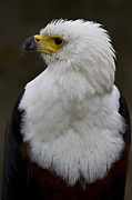 Eagle Framed Prints - African fish eagle 4 Framed Print by Heiko Koehrer-Wagner