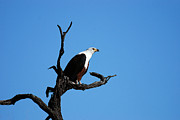 Frank Gaffney - African Fish Eagle