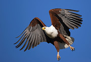 African Fish Eagle Print by Johan Swanepoel