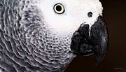 Parrot Posters - African Gray Parrot Art - Seeing Is Believing Poster by Sharon Cummings