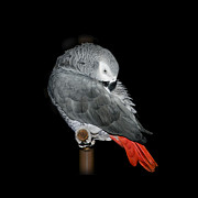 Preening Prints - African Grey Parrot Print by Betty LaRue
