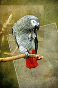North Vancouver Digital Art Posters - African Grey Parrot Poster by Gene Tewksbury