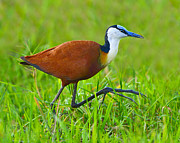 Rufus Framed Prints - African Jacana Framed Print by Tony Beck