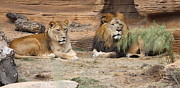 Cathy Lindsey - African Lion Couple 2