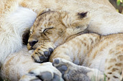 Lion Cub Sleeping Posters - African Lion Cub Sleeping Poster by Suzi Eszterhas